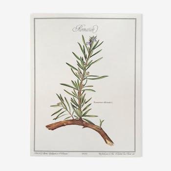 Planche botanique le romarin