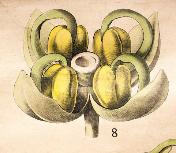 Biology of the flower, Ross, Morin, educational grid, 1900