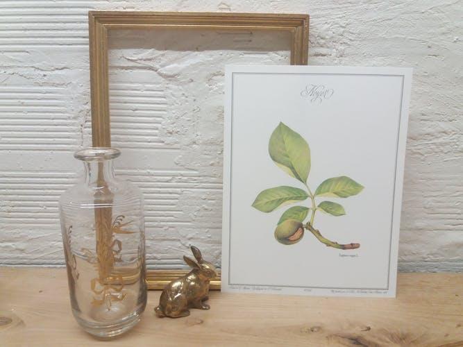 Planche botanique Noyer