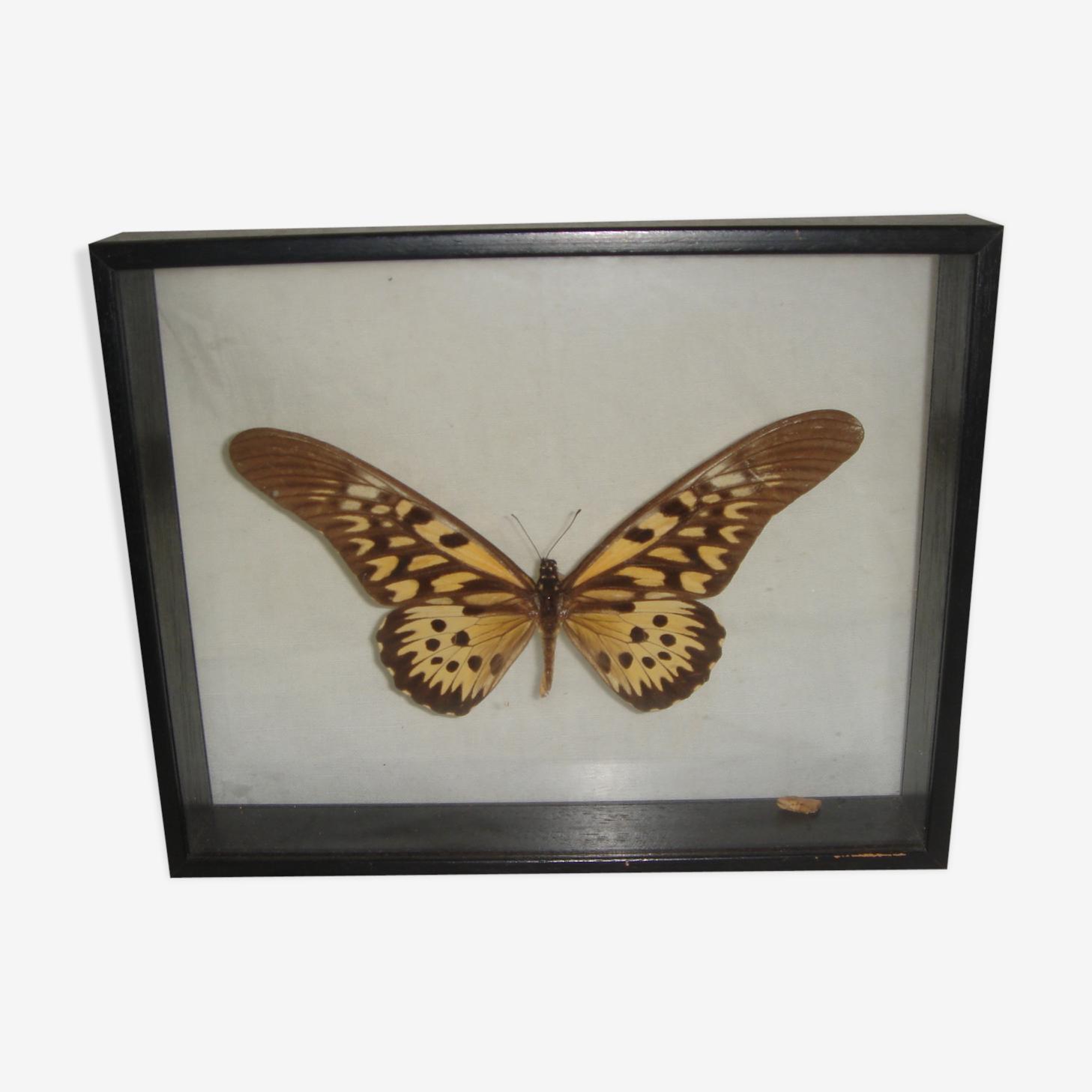 Papillon naturalisé de Madagascar dans boite vitrée
