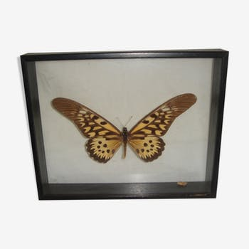 large Butterfly naturalized Madagascar in box window