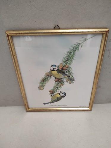 Lithographie illustration oiseau Parus Cæruleus vintage gravure cadre doré