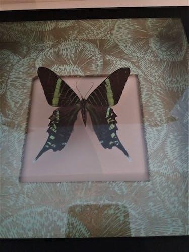 Entomologie cadre avec papillon urania leilus