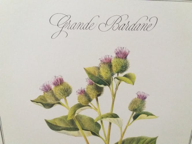 Planche botanique La Grande Bardane