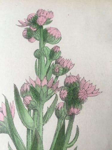 Paire de planches botaniques de R.Hogg, 1878
