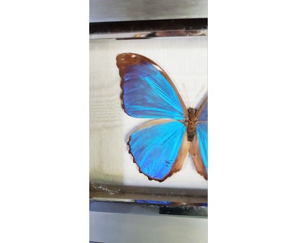 Papillon naturalisé Morpho de Guyanne
