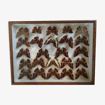 Cadre de papillons anciens