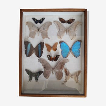 11 butterfly taxidermy