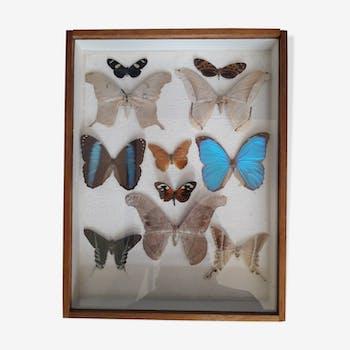 Taxidermy de 11 papillons