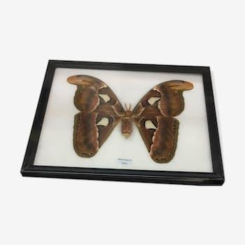 Papillon Atlas Moth sous cadre