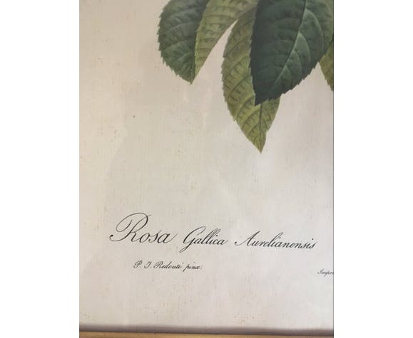 """Planche botanique de Redouté """"Rosa Gallica Aurelianensis"""""""