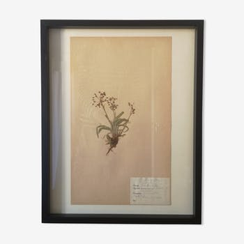 Old Swedish herbarium board framed