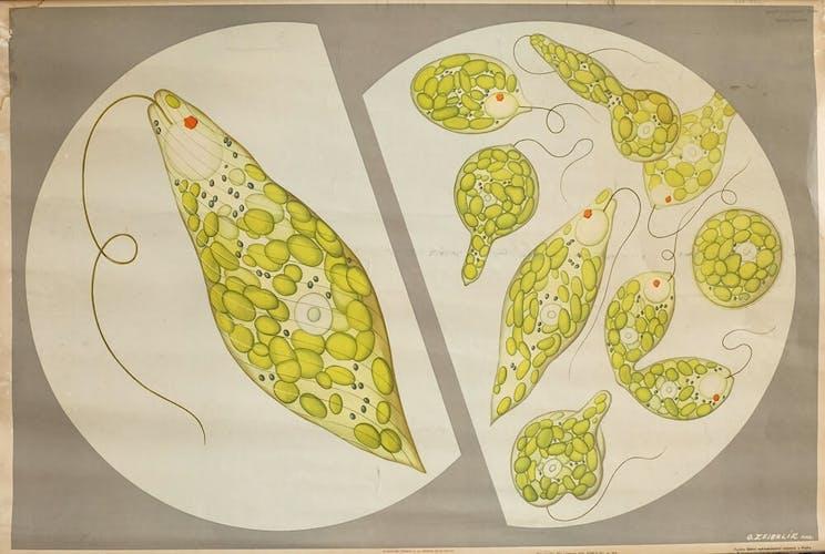 Affiche pédagogique Krásnoočko zelené (1951)