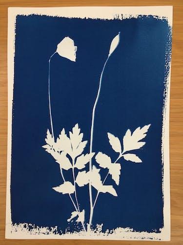 Cyanotype botanique 'Poppies'