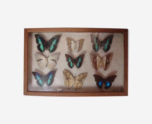 Papillons naturalisés, 1960/70, coffret bois & verre