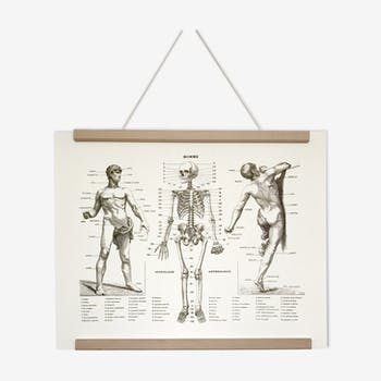 Anatomical poster representing the body of the man and his skeleton