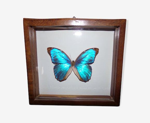 Papillon bleu morpho sous cadre