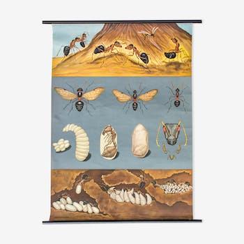 Affiche pédagogique fourmis, 1969