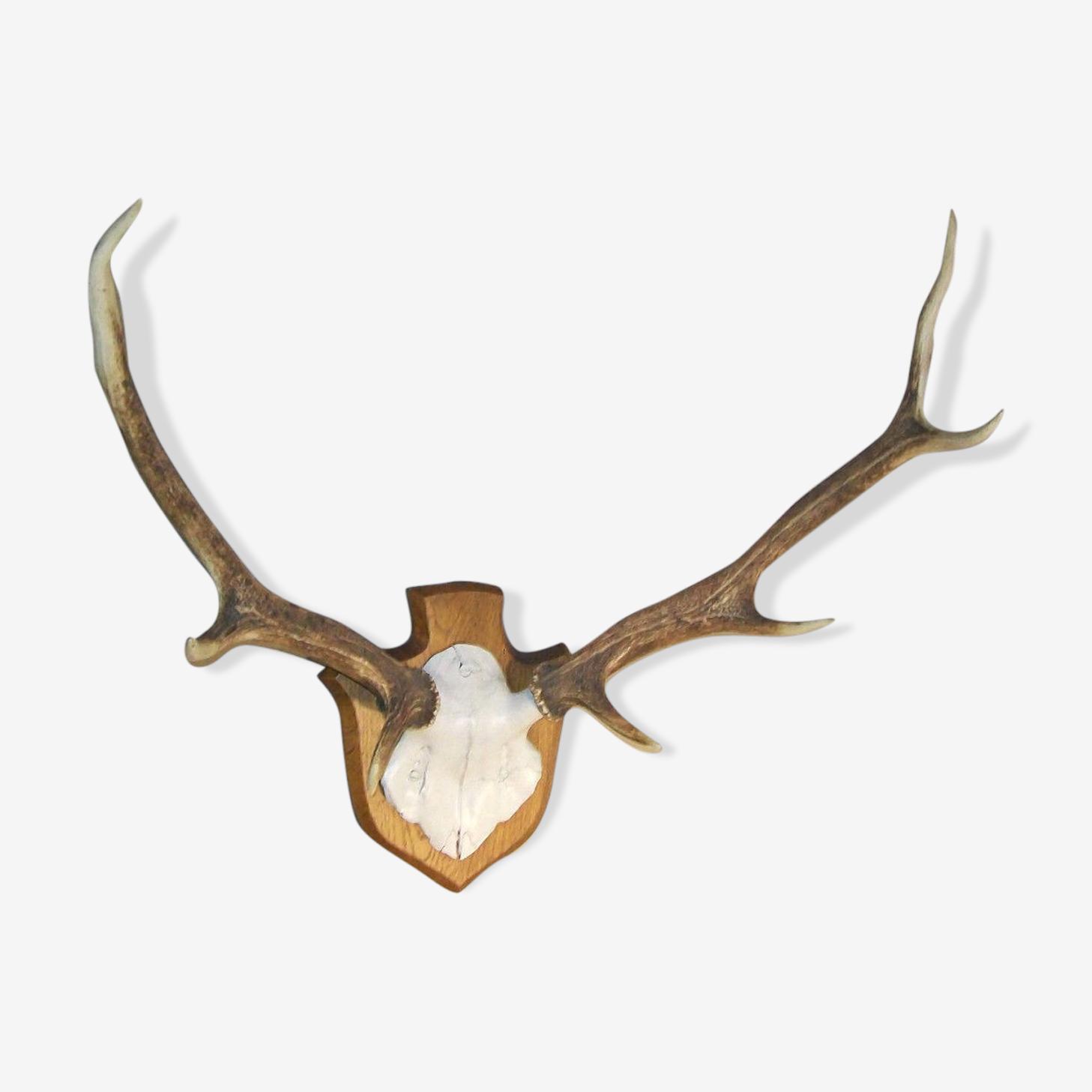 Ancien trophée de chasse massacre cerf sur bois corne
