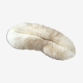 Ancient white coral Fungia fungites or coral fungus.
