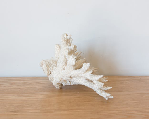 Ancient white coral