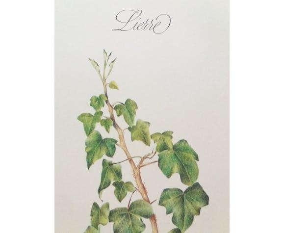 Planche botanique Lierre