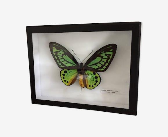 Butterfly green and yellow ornitho priamus Poseidon Indonesia
