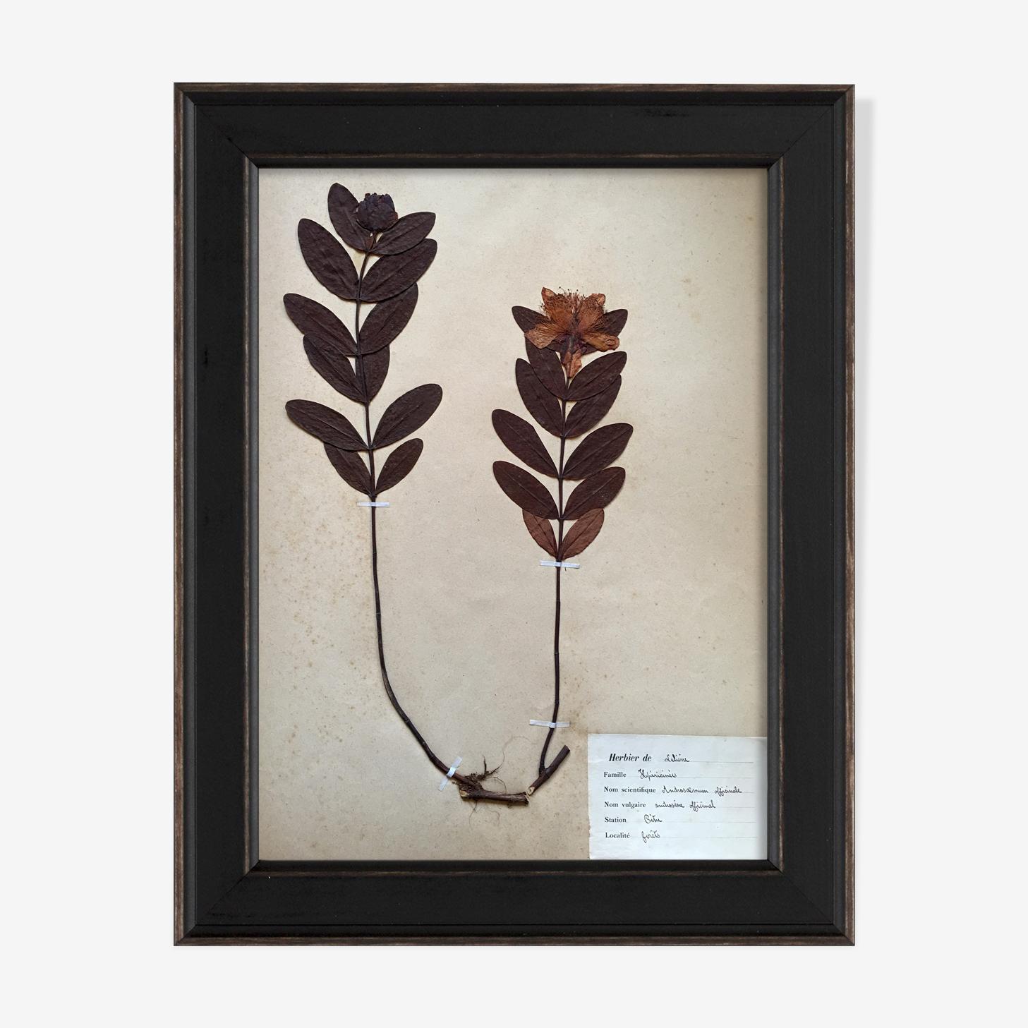 Framed vintage herbarium, dated 1924