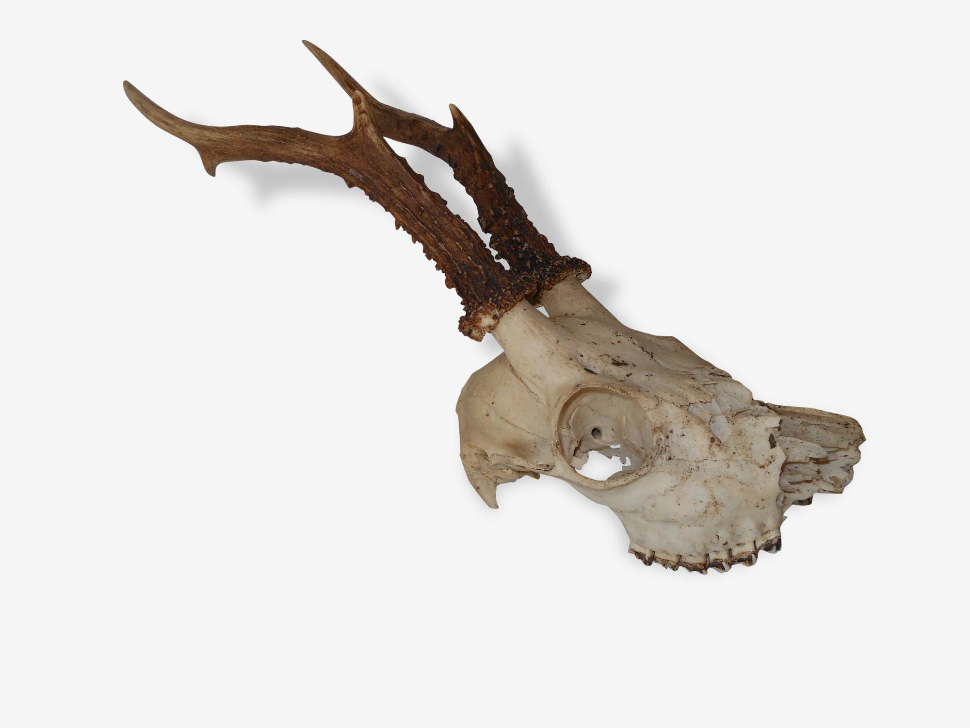 Trophée crâne de chevreuil