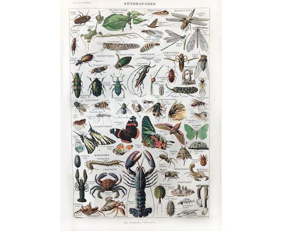 Planche ancienne d'arthropodes