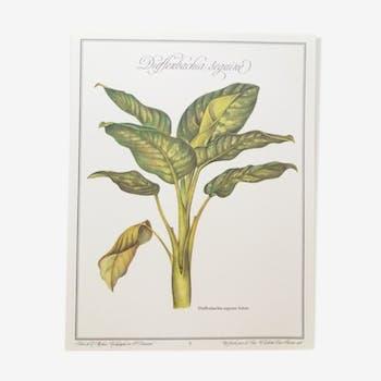 Dieffenbachia Seguine botanical board