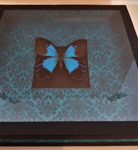 Entomologie cadre avec papillon papilio ulysses