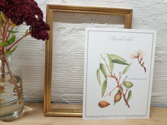 Planche botanique Amandier Doux
