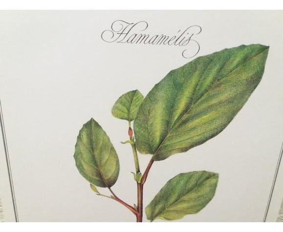 Planche botanique Hamamélis