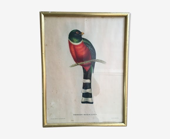 """Planche ornithologique """"Trogon mexicanus"""" J&E Gould"""