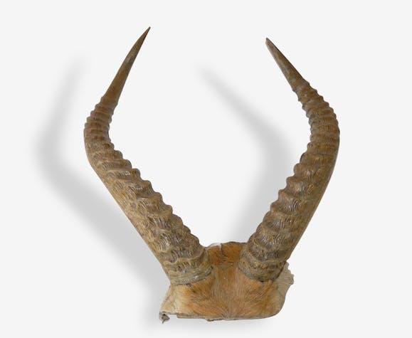 Cornes d'antilope