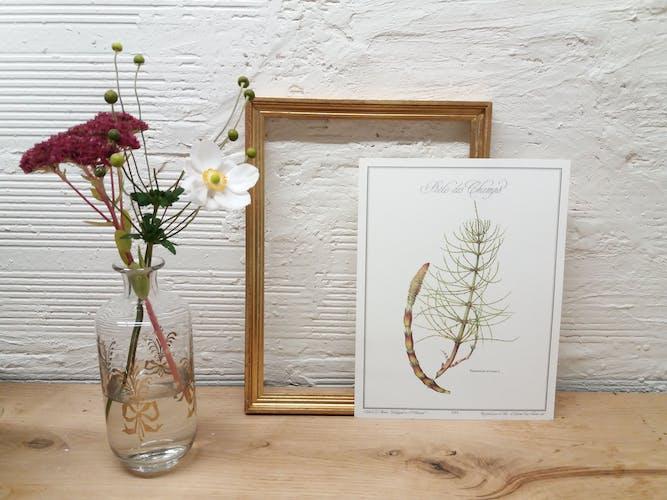 Planche botanique Romarin