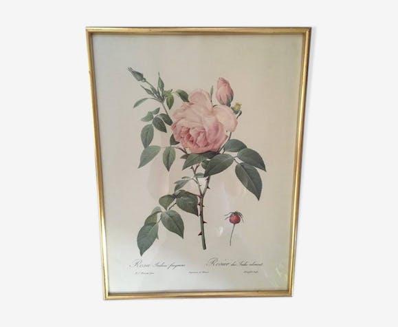 """Planche botanique de Redouté """"Rosa Indica fragans"""""""