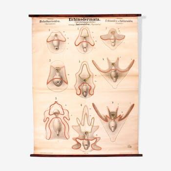 Affiche pédagogique échinodermes