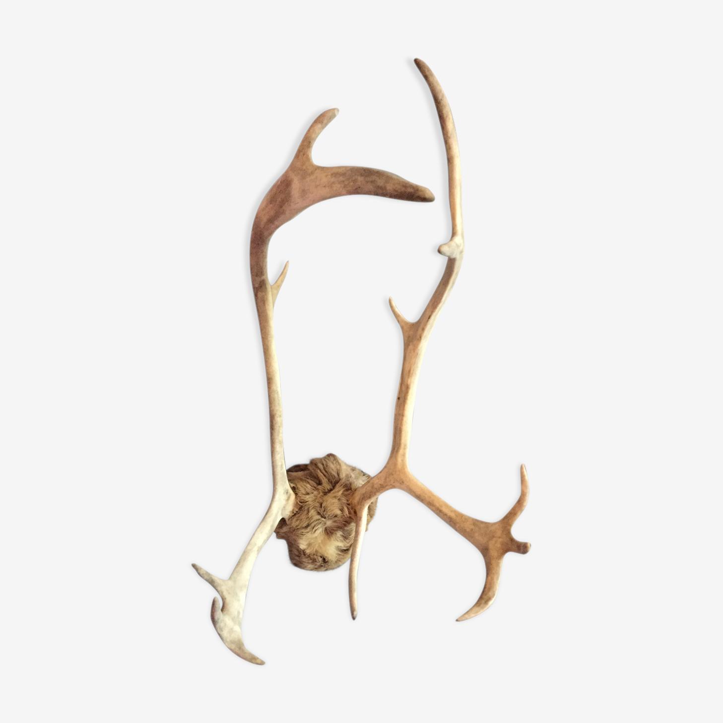 Trophée de chasse bois de cerf