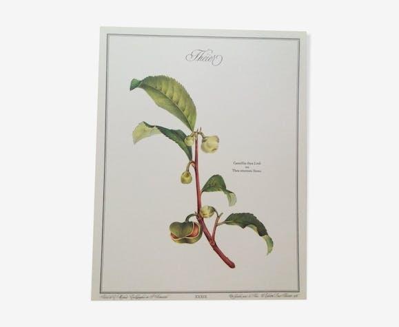 Planche botanique Théier