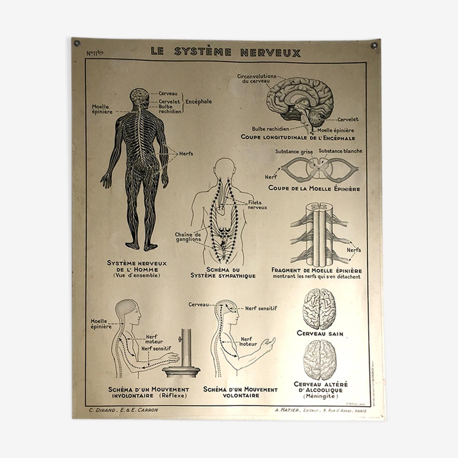 Affiche scolaire médicale vintage 50 muscles, articulations, système nerveux